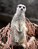 Meerkat in melbourne zoo victoria australia Royalty Free Stock Photo