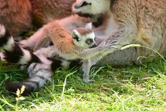 Baby lemur. Portrait of a baby ring tailed lemur playing with a piece of grass Stock Photography