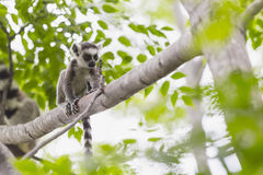Baby lemur portrait on a tree branch in Madagascar. Funny and cute baby ring tailed lemur on a tree branch in a Madagascar wildlife reserve Stock Photos