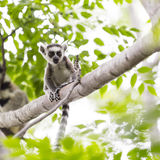 Baby lemur portrait on a tree branch in Madagascar. Funny and cute baby ring tailed lemur on a tree branch in a Madagascar wildlife reserve Stock Photography