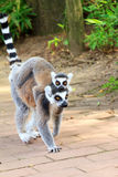 Baby Lemur. The ring-tailed lemur Lemur catta is a large strepsirrhine primate and it is endemic to the island of Madagascar. Known locally in Malagasy as maky Royalty Free Stock Image