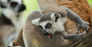 Baby lemur. Ring tailed in the zoo Royalty Free Stock Photo