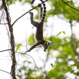 Baby lemur silhouette climbing on a branch tree. Cute baby ring tailed lemur on a dark silhouette playing on a branch tree Royalty Free Stock Photos