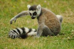Baby lemur. Wild baby lemur Stock Photos
