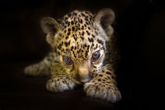 Baby leopard on black Stock Photo