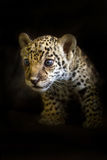 Baby leopard on black Royalty Free Stock Image