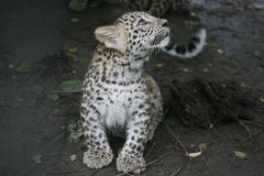 Baby leopard Stock Photo