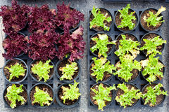 Baby lettuce green and red plant sprouts in pots Royalty Free Stock Images