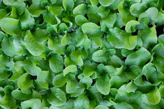 Baby lettuce plants closely packed Stock Photography