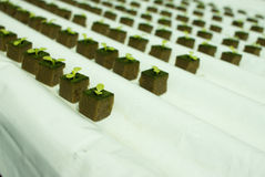 Baby lettuce plants on hydroponic culture Stock Images