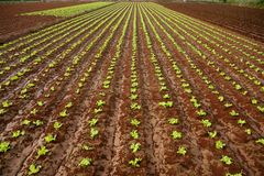 Baby lettuce sprouts on a red claiy soil Royalty Free Stock Photo