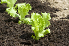 Baby lettuces Royalty Free Stock Images