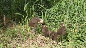Baby limpkins in Florida-Sumpfgebieten stock video