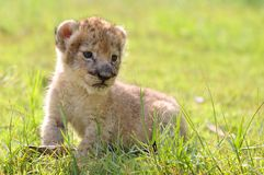 Baby lion. Chiang mai night safari Royalty Free Stock Photo