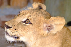 Baby lion. Close-up Royalty Free Stock Images