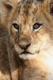 Baby lion. Portrait of a baby lion stock images