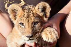 Baby lion animal close up portrait Royalty Free Stock Images