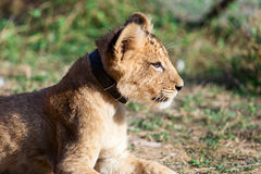 Baby lion animal close up portrait Stock Image