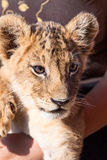 Baby lion animal close up portrait Royalty Free Stock Photos