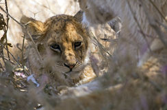 Baby lion closeup Royalty Free Stock Photography