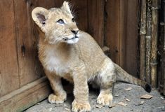 Baby Lion Cub. 8 week old baby lion cub Stock Photo
