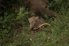 Baby Lion cub. Cute baby lion cub nested away next to mother Stock Photography