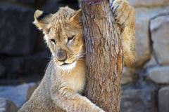 Baby Lion Cub Hanging on Tree Trunk Royalty Free Stock Image