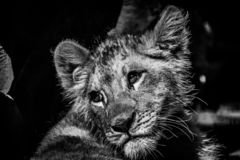 Baby lion cub having a break in the shade in black and white stock photography