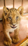 Baby lion Stock Image
