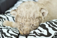 Baby lion. A cute little lion cubs on the black and white mattress stock images