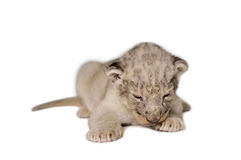 Baby Lion Royalty Free Stock Image