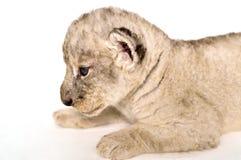 Baby Lion Stock Image
