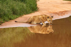 Baby lion drinking at water hole. With reflection on water surface, South Africa royalty free stock photo