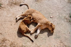 Baby lion feeding Royalty Free Stock Image