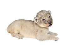 Baby lion isolated Stock Image