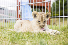 Baby lion Stock Photography