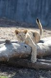 Baby lion on a log Stock Image