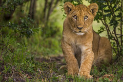 Baby lion is looking to camera curiously and amazed. Stock Images