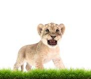 Baby lion (panthera leo) isolated Stock Photo