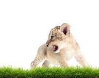 Baby lion (panthera leo) isolated Royalty Free Stock Image