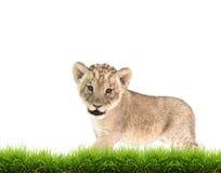 Baby lion (panthera leo) isolated Royalty Free Stock Photography