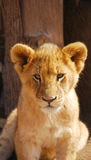 Baby lion portrait Stock Image