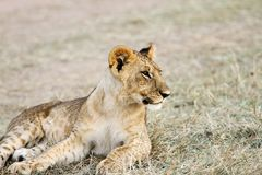 A baby lion relaxing Royalty Free Stock Photo