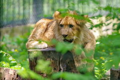 Wild animal. Baby lion Stock Images