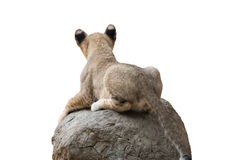 Baby lion sit on the rock Royalty Free Stock Photos