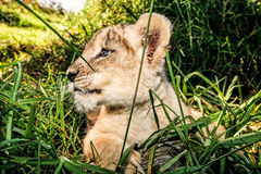 A baby lion sitting in grass Royalty Free Stock Photos