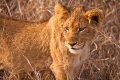 Baby lion walking in the grass Stock Image