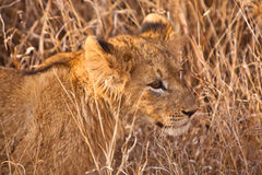 Baby lion walking in the grass Royalty Free Stock Photography
