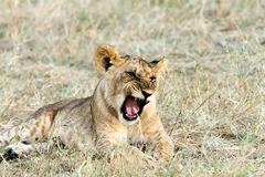 A baby lion yawning Stock Photos