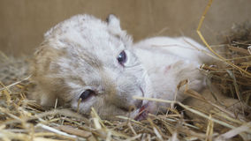 Baby lion in zoo Royalty Free Stock Images